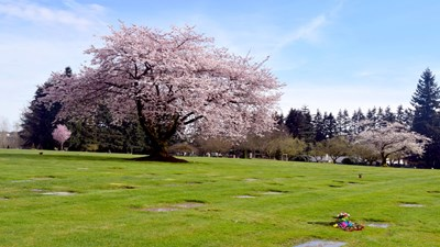 Cemetery grounds with trees in bloom at Cedar Lawns Memorial Park.