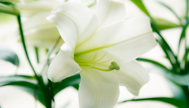 A close up of a white Easter lily.